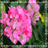 Bougainvillea Flower Onet Game 1.0