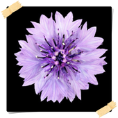 New Chicory Flowers Onet Game 1.0