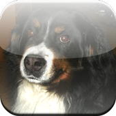 Bernese Mountain Dog Game 1.0