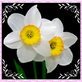 New Daffodil Flowers Onet Game 1.0