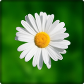 New Daisy Flowers Onet Game 1.0