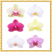 Orchid Flowers Onet Game 1.0