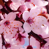 Application Letter Download, Cherry Blossom Live Wallapper 10 02 Icon, Application Letter Download