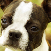 Boston Terrier Puzzle 1.23