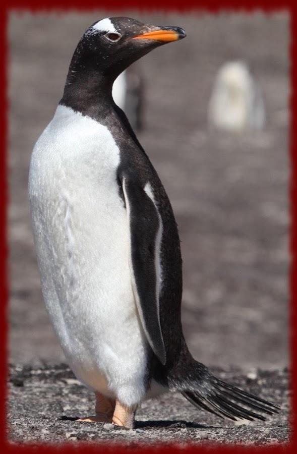 Gentoo Penguins Wallpapers