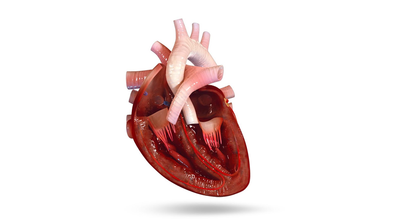 VR Human Heart 1.0.6 APK Download - Android Education Apps