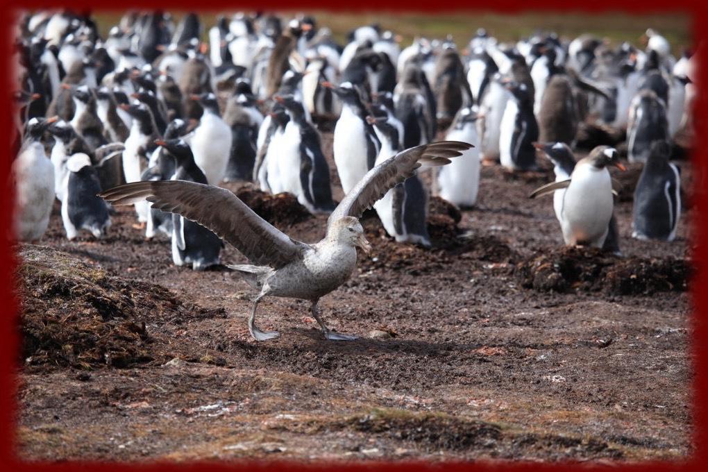 Gentoo Penguins Wallpapers   Gentoo Penguins Wallpapers
