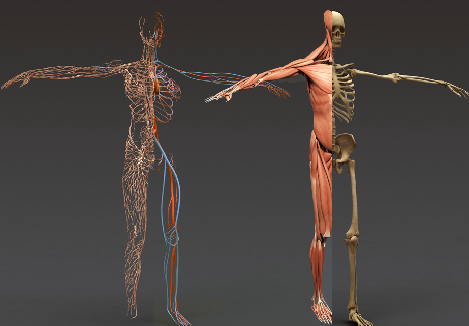 3d anatomy apk free download | Download 3D Bones and Organs (Anatomy