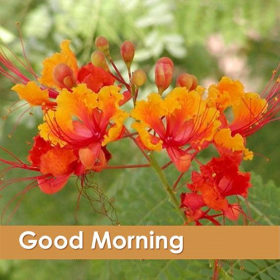 Good Morning Orange Flowers : Good morning flowers apk download android