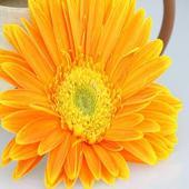 Chrysanthemum Crashers 1.0