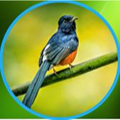 lagu suara burung lengkap 2.0