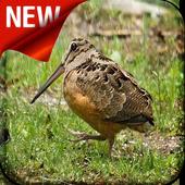 American Woodcock Bird Song 1.0