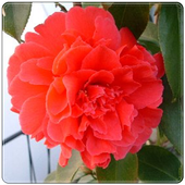New Begonia Flowers Onet GameAndroidMatchesGamesBoard