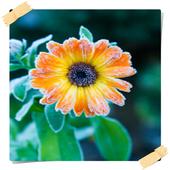 Calendula Flowers Onet Game 1.0
