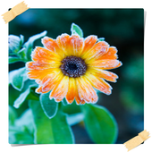 Calendula Flowers Onet Game 1.0