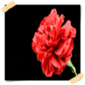 Carnation Flowers Onet Game