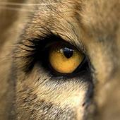 Eyes Lion Live Wallpaper 1.00