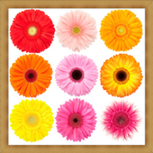 Gerbera Daisy Flower Onet Game 1.0