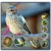 Full Kicau Burung Blackthroat 3.3.8