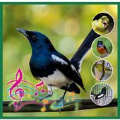 Full Kicau Burung Kacer 3.3.3