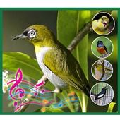 Kicau Burung Pleci Lengkap Offline 1.1.1 APK Download - Android ... b5366b8c01