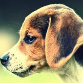 Beagle Dog Pack 2 Wallpaper 1.3