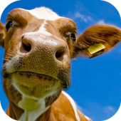 Cows. Nature Wallpapers 1.0