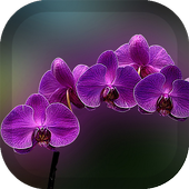 Orchid Wallpaper 1.5