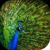 Peacock Wallpaper 1.5