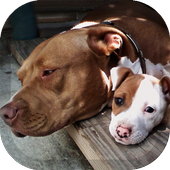 Pitbull Pack 2 Wallpaper 1.5