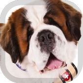 Saint Bernard Wallpaper 1.5