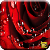 Rose Flower Wallpapers 1.0