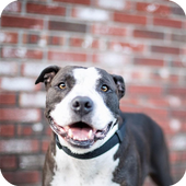 Pitbull Dog Wallpaper 1.1