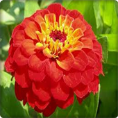 New Zinnia Flowers Onet Game 1.0