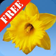 Daffodils Free Live Wallpaper 2.21