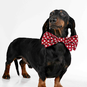Dachshund Dogs Wallpapers 1.0