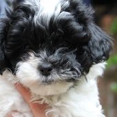 Shih Poo Dogs Wallpapers 1.0
