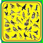 Novo Canto Dos Pássaros Brasil 1.0