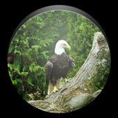 Bald Eagle Wallpaper 1.0
