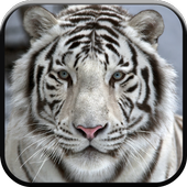 New Beautiful White Tiger Wallpapers 1.0