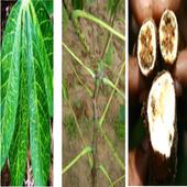 Common Cassava Diseases & Control 1.0