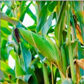 NARO Maize Production 1.0