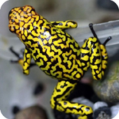 Poison Frog Wallpaper 1.0