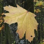 Live Wallpaper the Leaf Fall 1.0
