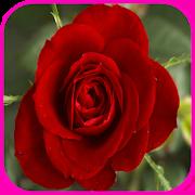 Rose Wallpaper 1.0