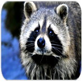 Raccoon Sounds 1.7.9