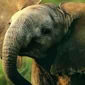 baby elephant wallpaper 10.02