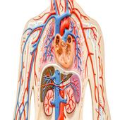 Human Body Quiz 1.1