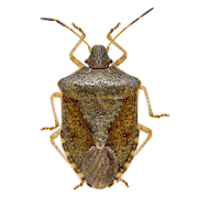 Stink Bug Scout 2.0