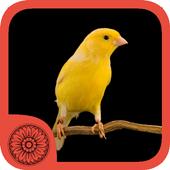 Burung Kenari 1.0